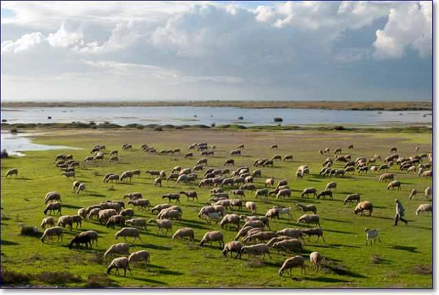 Стадо овец отара