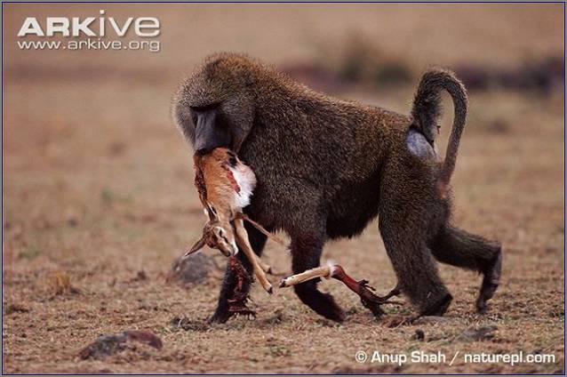 бабуин поймал детеныша антилопы импалы