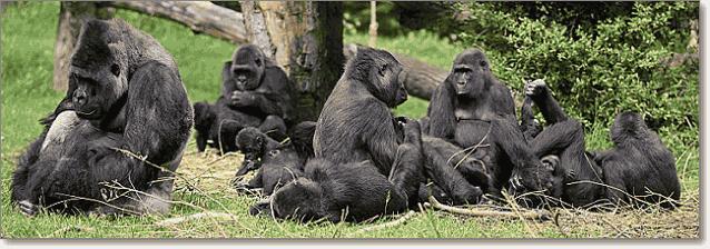 гориллы семья