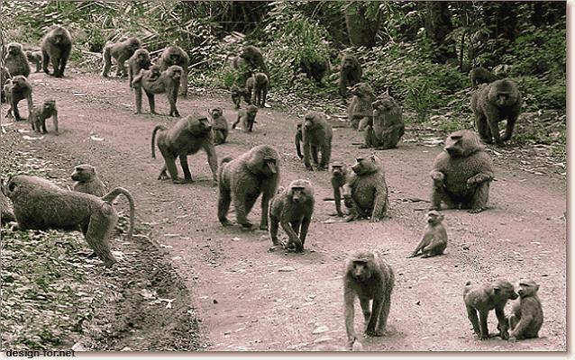 павианы семья