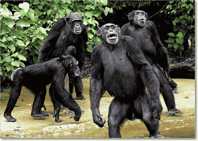 прямостояние у шимпанзе