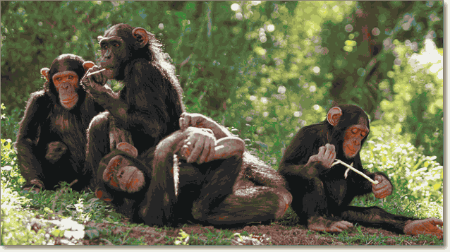 шимпанзе семья