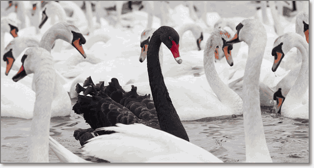 черный лебедь непредсказуемость
