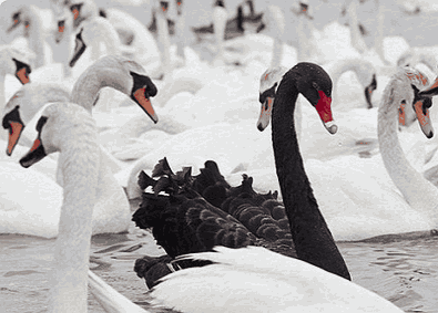 Черный лебедь метафора