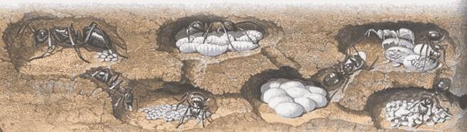 модификации тел муравьев как способ повышения эффективности разделения труда